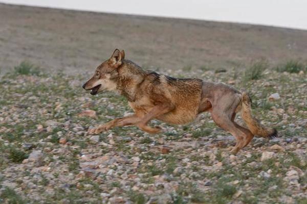 Волк умирал на обочине и все проезжали мимо…Внезапно человек остановился рядом…